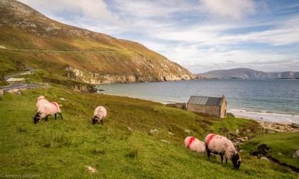 Keem Bay Sheep - Ireland
