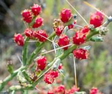 Red Fruits Superstition Wilderness, Arizona