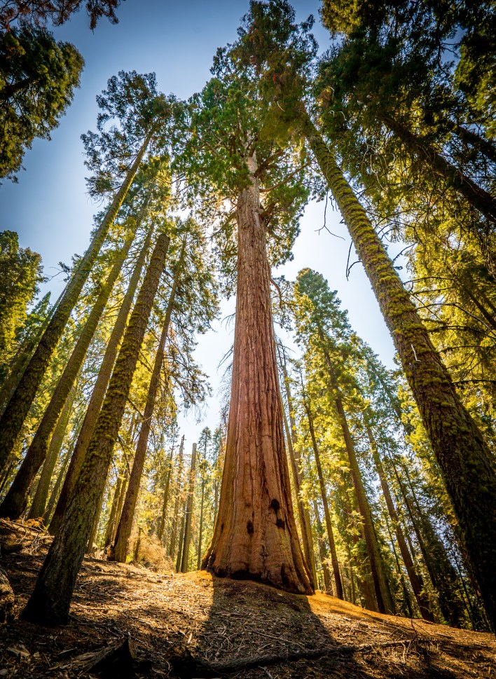 Glowing Sequoia