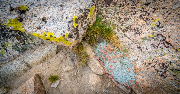 Mountain Lichen