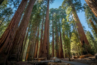 WS Sequoia Forest