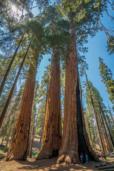 Three Sequoias