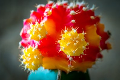 Baby Christmas Cactus