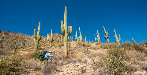 Hiker Among Saguaros