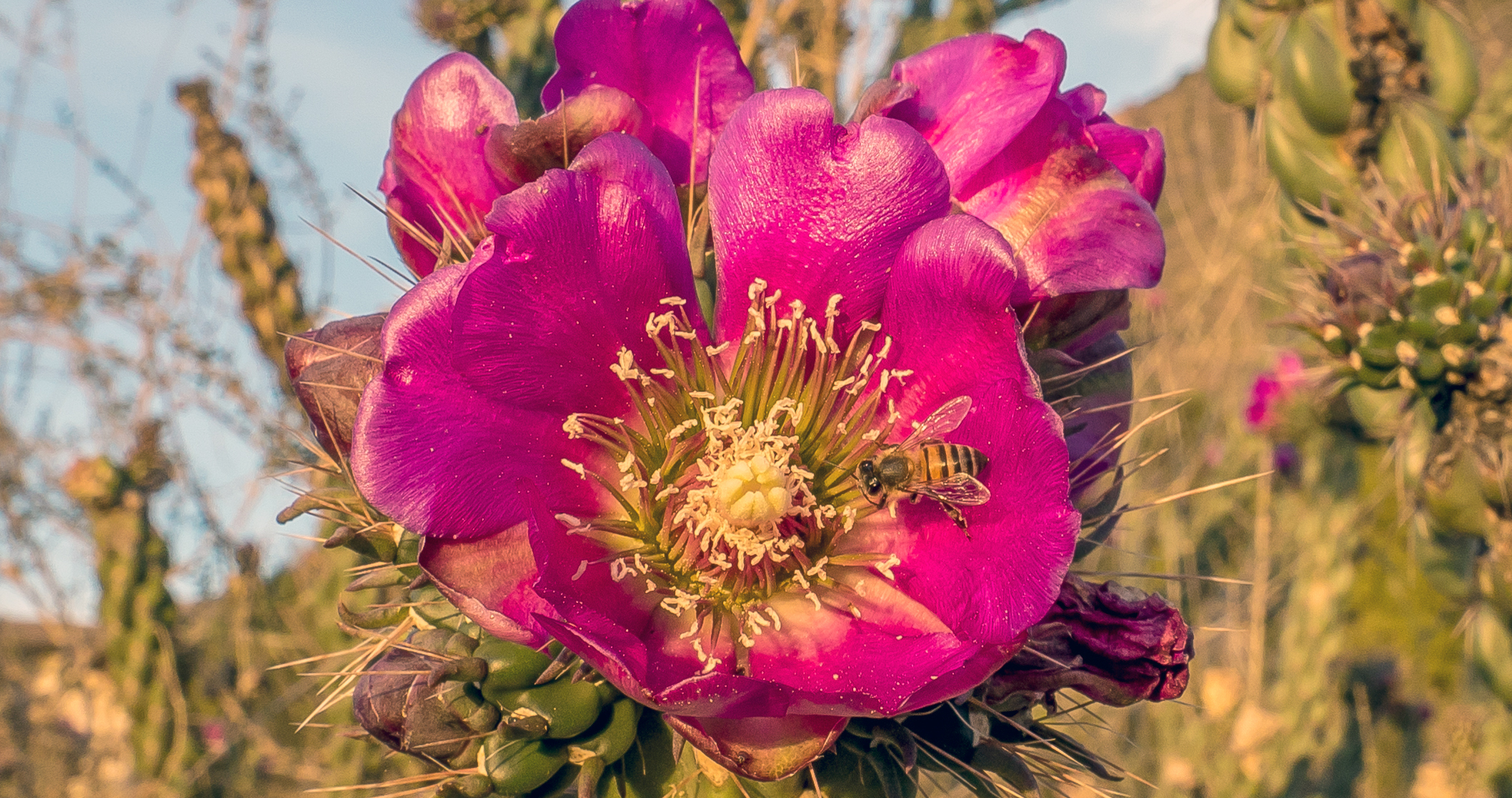 Bee in a Cholla Flower
