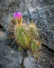 Hedgehog Flower