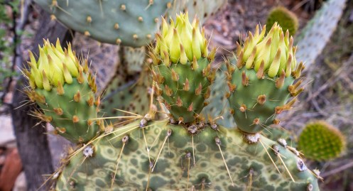 Prickly Pear Buds