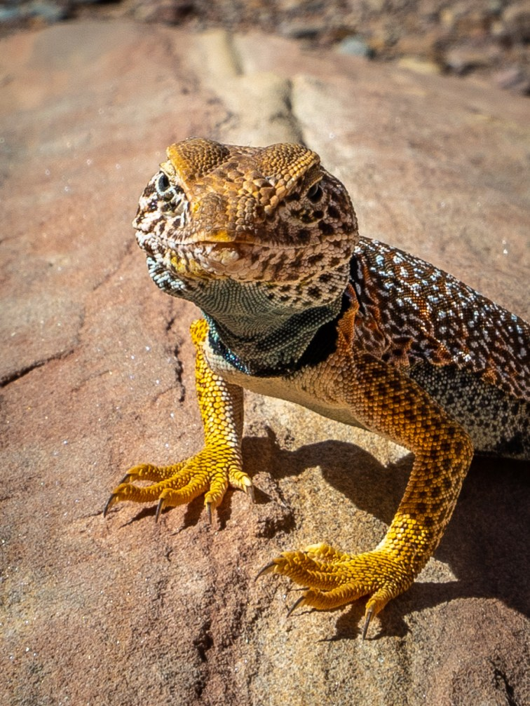 Capitol Reef - Colared Lizard CU