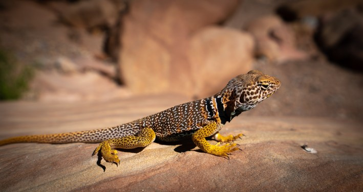 Capitol Reef - Colared Lizard