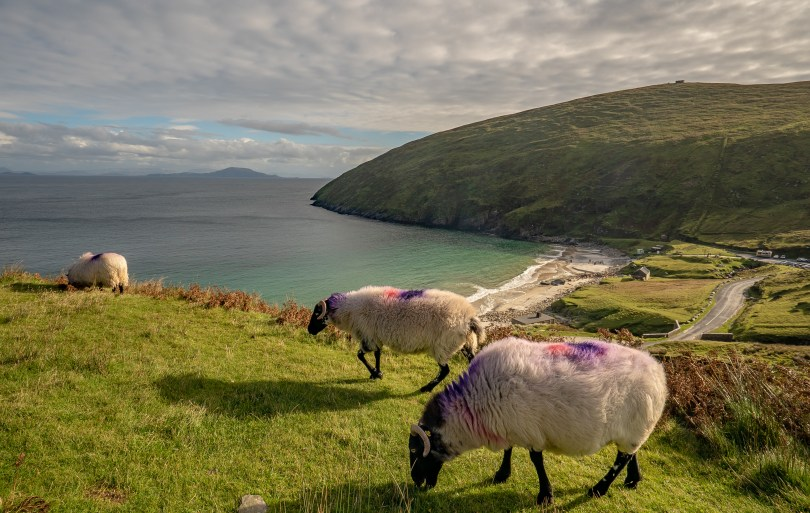 Keem Bay Sheep
