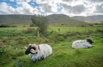 Sheep at Sheffield Pass 2