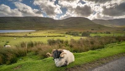 Sheep at Sheffield Pass