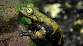 yellow eyed frog (1 of 1)