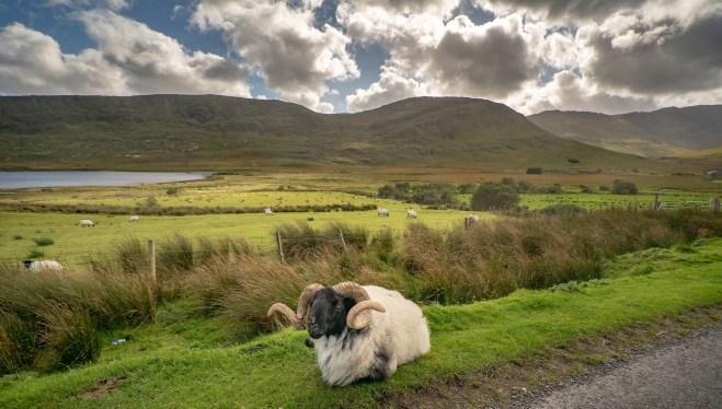 Sheep-at-Sheffield-Pass