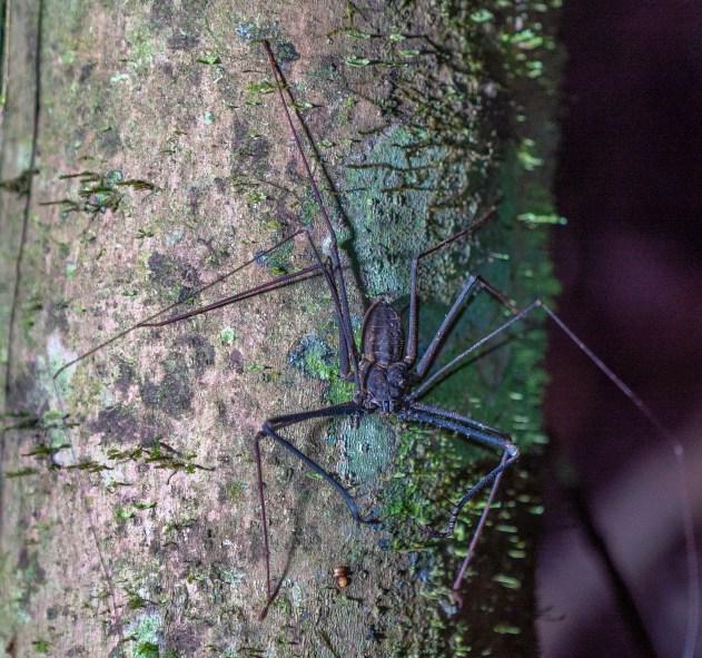 Tailess Whip Scorpion