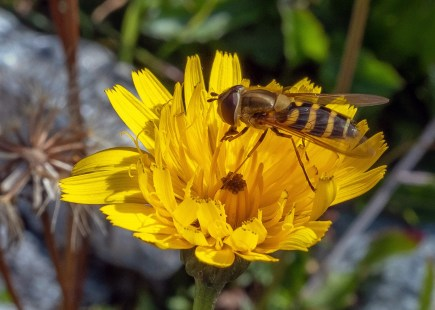 Bee-on-a-Flower-1