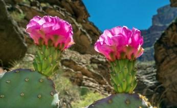 Prickly-Pear-Flowers-Upshot