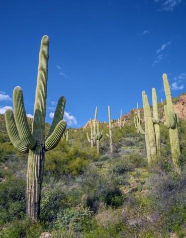 Saguaros on a Hill vert