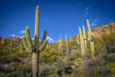 Saguaros on a Hill