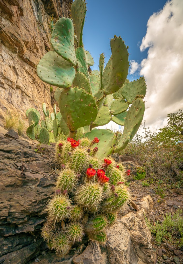 Claret Cup and Prickly Pear Cactus