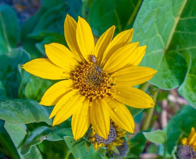 Five-veined Little Sunflower