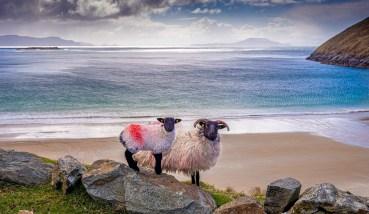 Black Faced Sheep Above Keem Beach