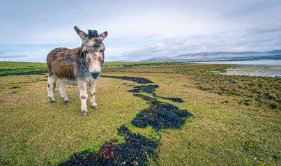 Burren Donkey