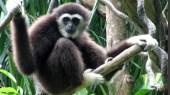 Chanee, l'ange des gibbons