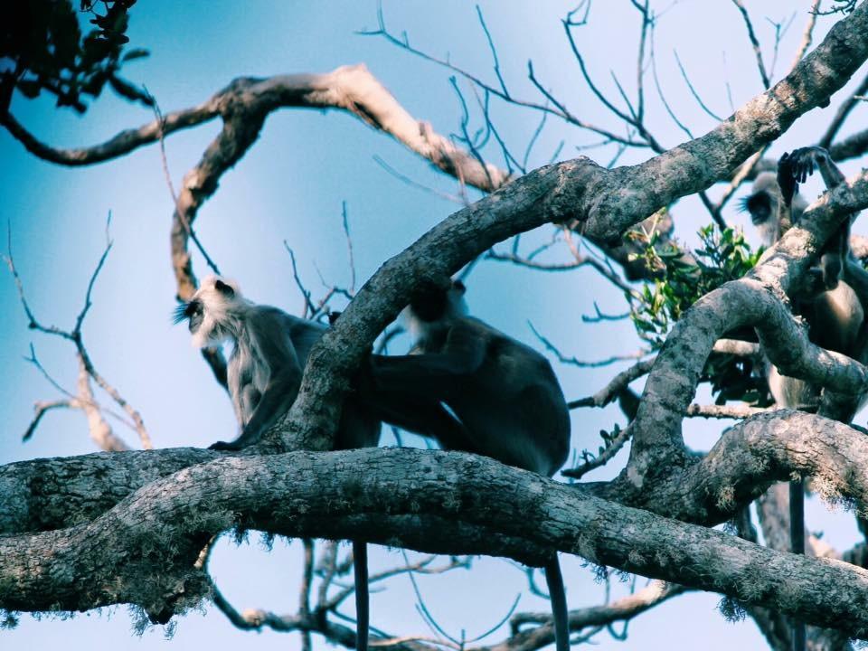 Monkeys in Yala National Park, Sri Lanka