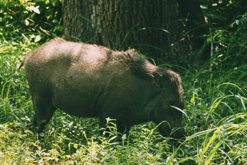 Wild boar at Yala National Park