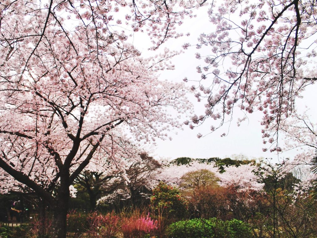Korean cherry blossom at the Halla Arboretum in Jeju City