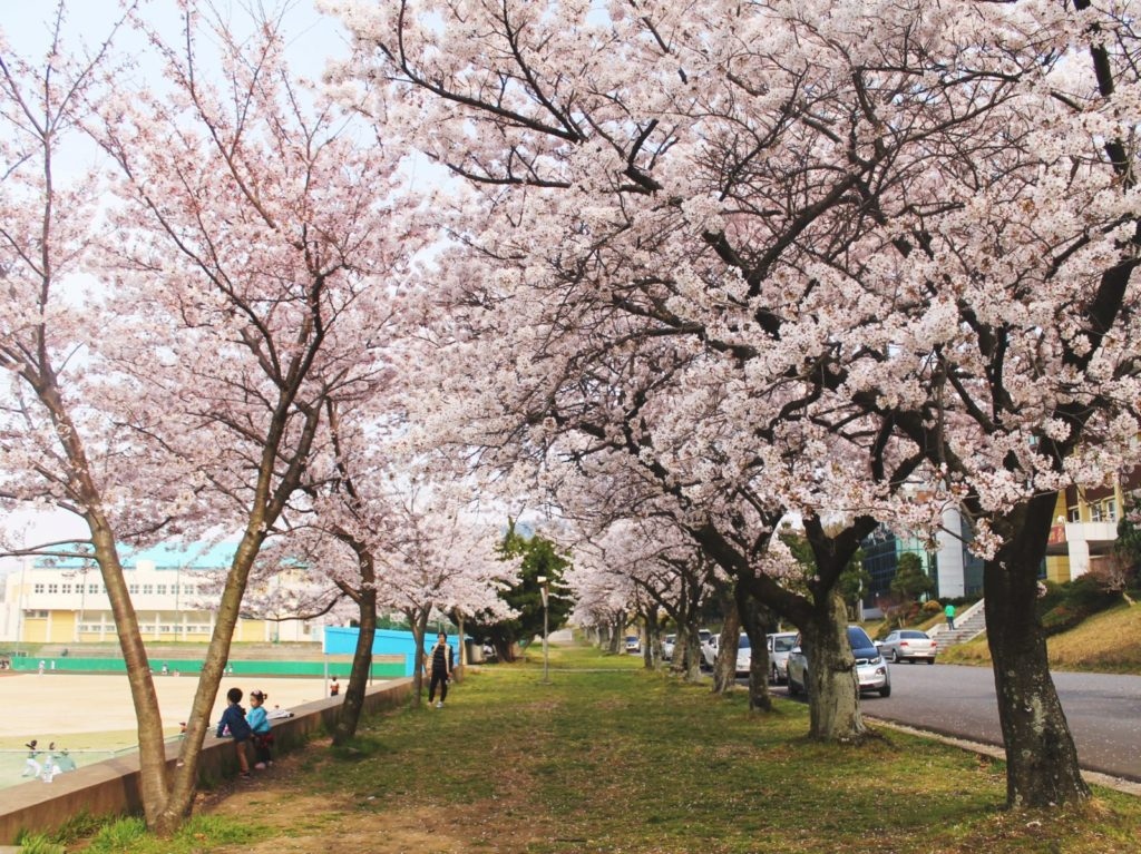 Korean cherry blossom trees at Jeju High School in the capital city of Jeju Island