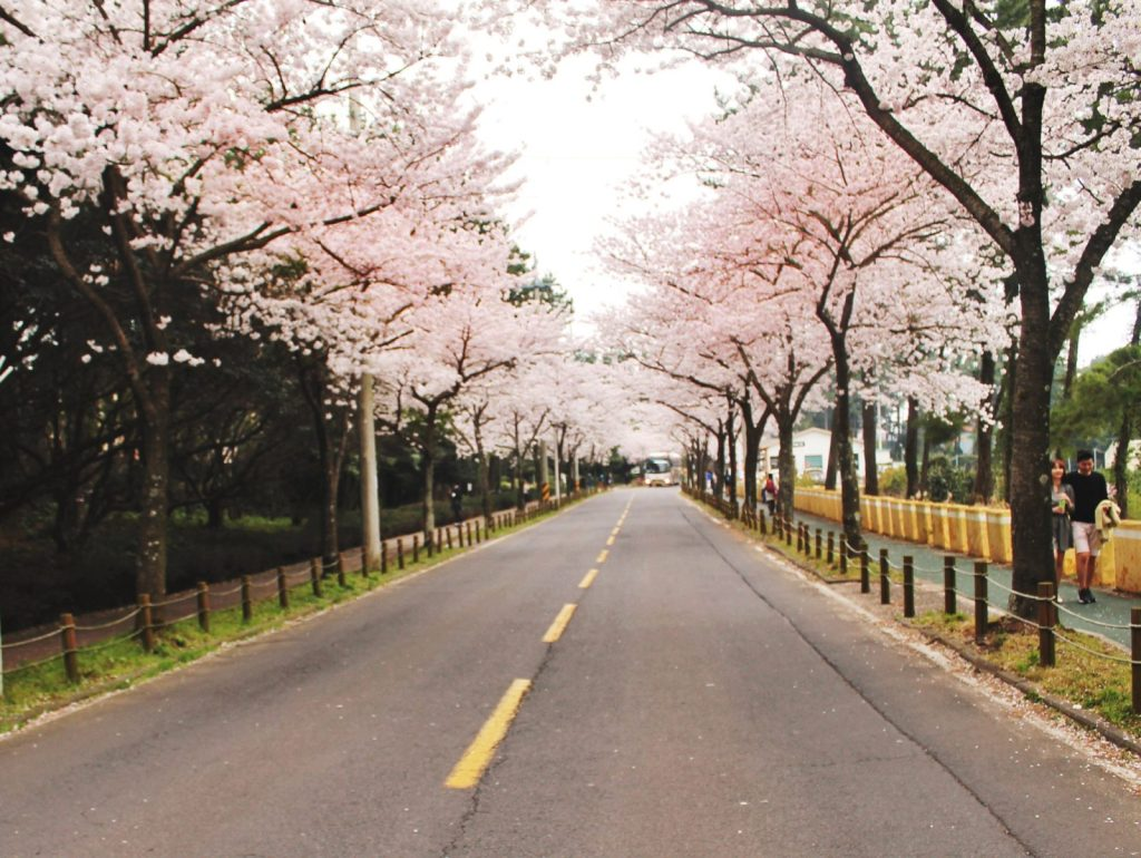 Korean cherry blossoms covering the road to the Halla Arboretum