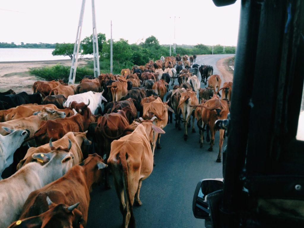 Buffalo in the road in Sri Lanka