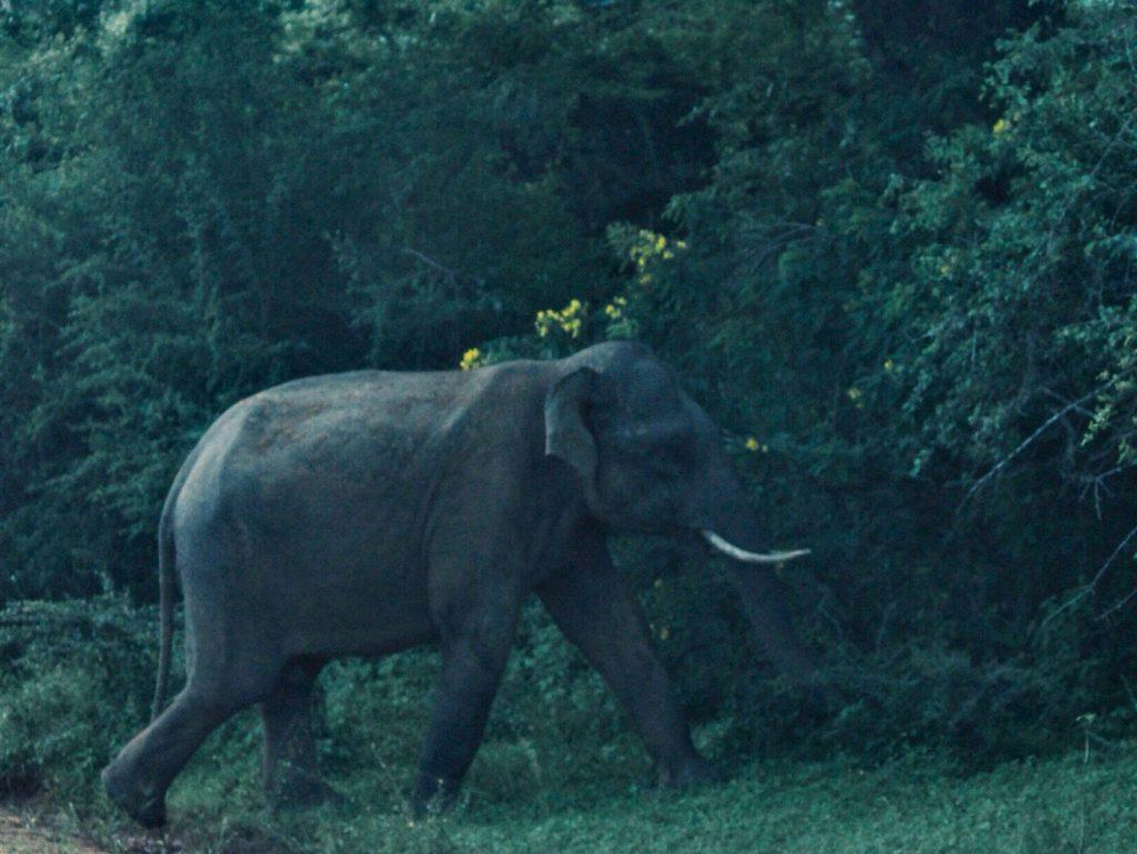 An elephant with tusks