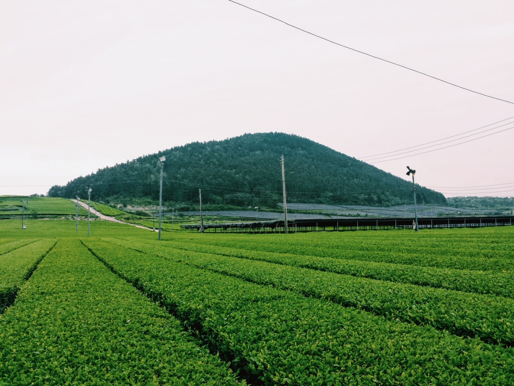O'Sulloc's green tea plantations on Jeju Island