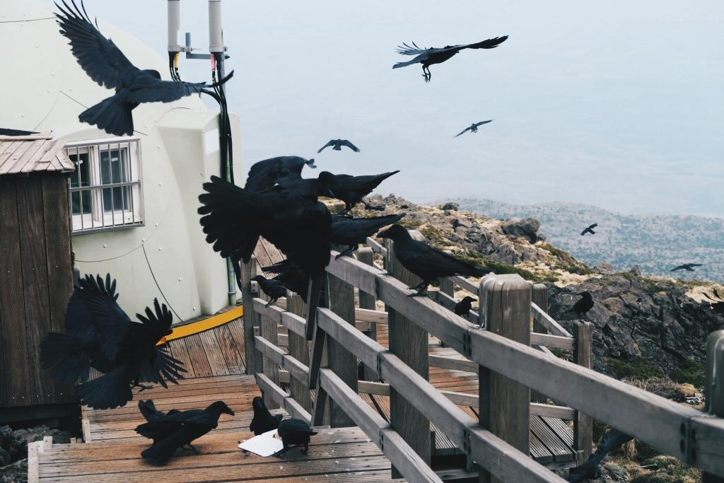 Ravens at Halla Mountain