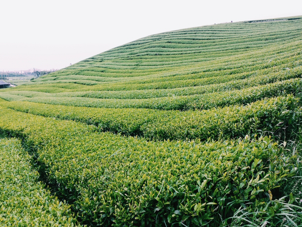 Green Tea Fields on Jeju in South Korea