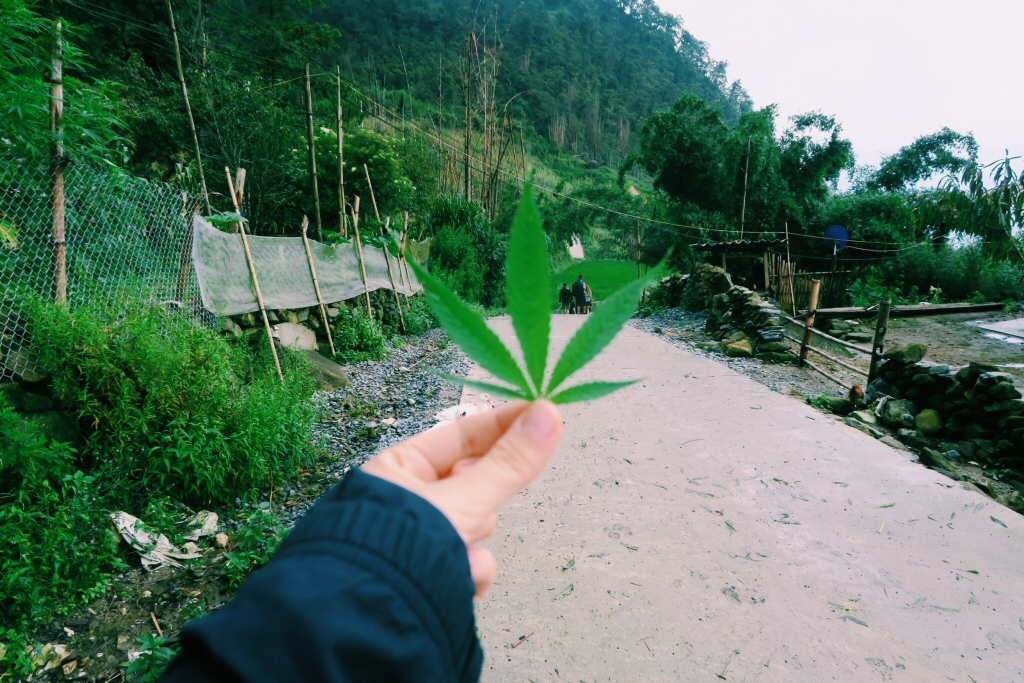 Marijuana plant, with the hill-tribes homestay in Vietnam