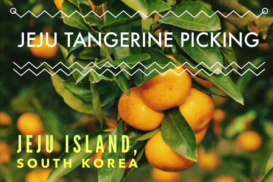 Jeju Tangerine, Jeju Island, South Korea