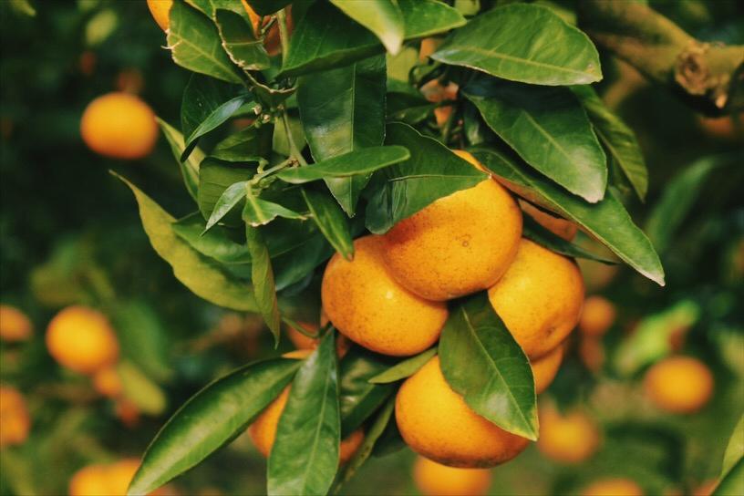 Jeju Tangerine Tree, South Korea
