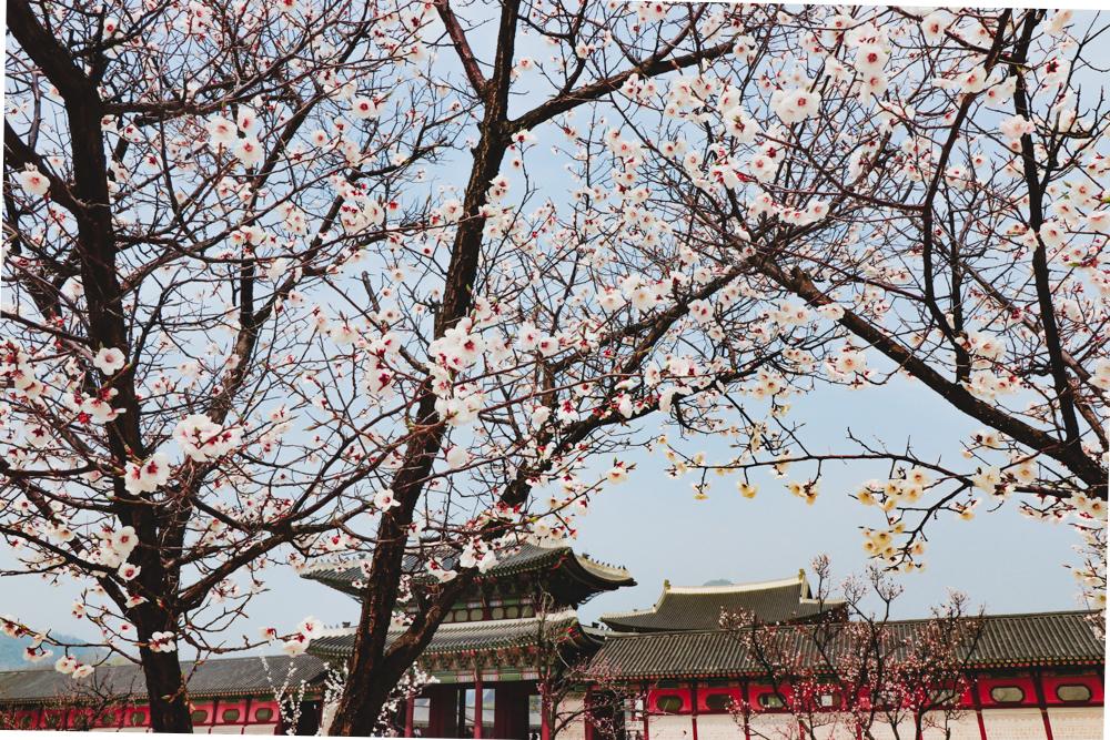 Spring in Korea is the best time to visit Seoul Korea season