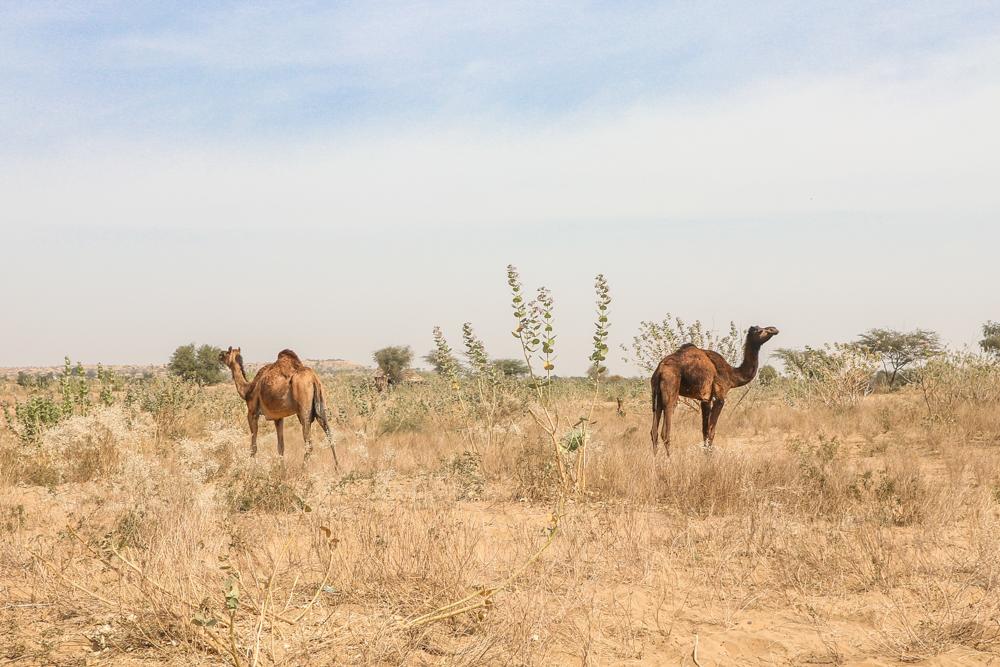 Desert camel trek for Thar