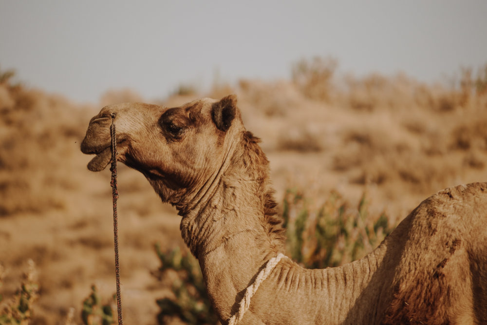 Camel experience in India