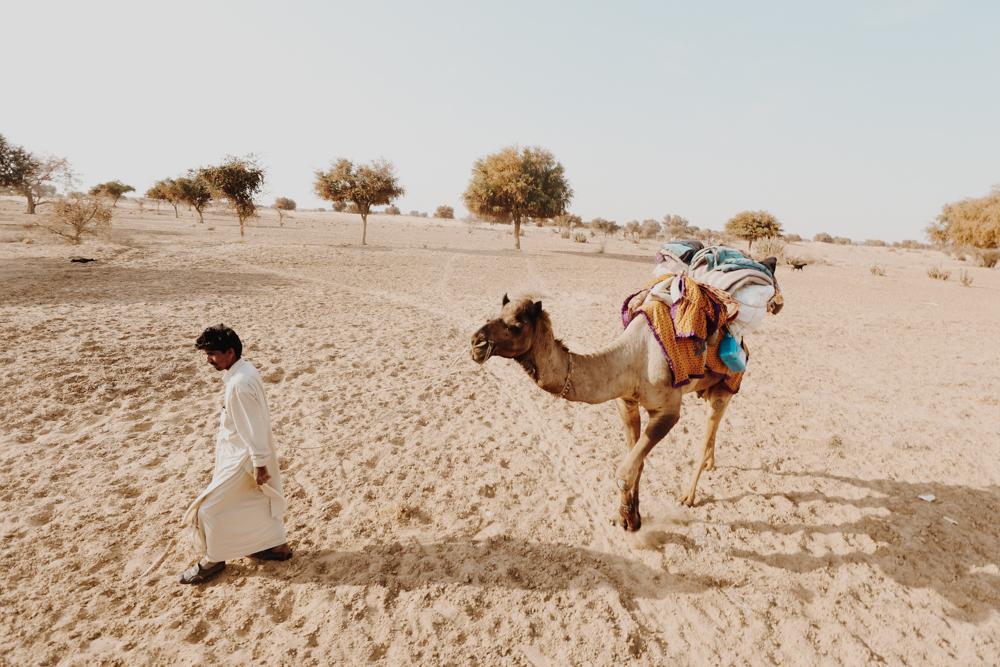 Camels in Indian desert