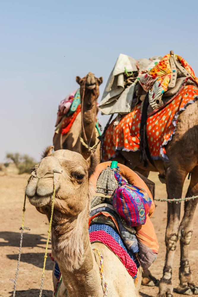 Indian camel safari in India