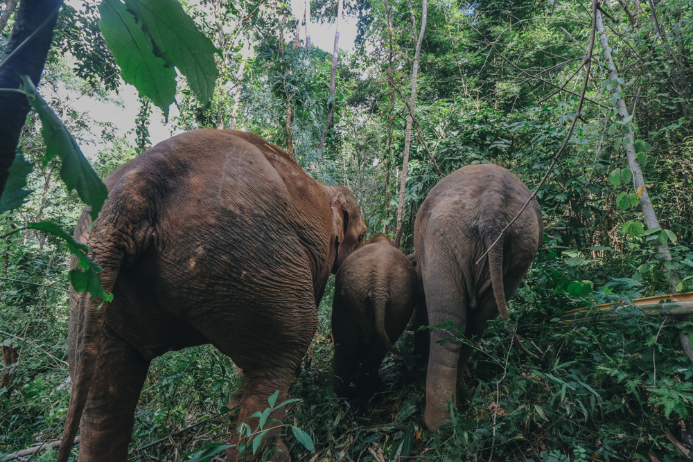 Thailand Elephant in Chiang Mai