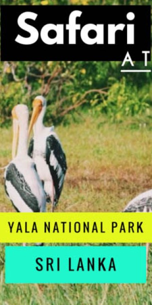 Tips for the best budget safari experience at Yala National Park in Sri Lanka (famous for its leopard population), including cost-breakdown and itinerary.