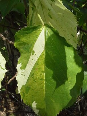 Unusual varigated leaf