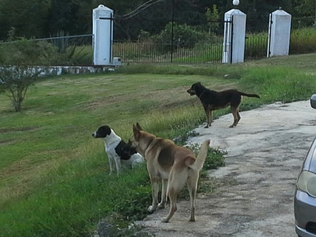 Guard dogs working in unison